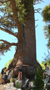 a Cedar, born before Christ